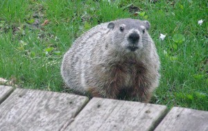 Groundhog Johnny, head of the #FreeFakePhil campaign, humbly submits himself for consideration as the first real, live National Groundhog